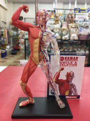 筋肉と血管 筋肉と血管 人体模型フィギュア入荷しました| ハードオフ三河安城店